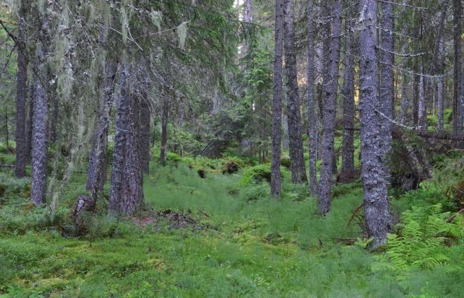 Sågtjärnsskog1a
